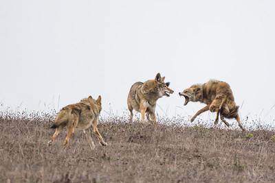 Territorial dispute among Coyotes, Point Reyes National Seashore.