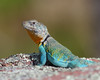 WL-101: Eastern Collared Lizard