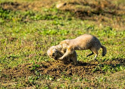 Blacktailed Prairie Dog, Cynomys ludovicianus
