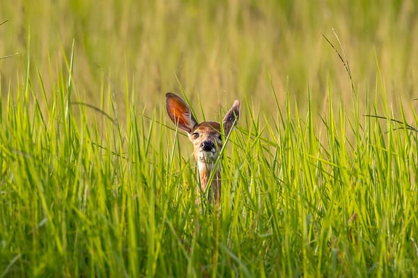 Hiding fawn