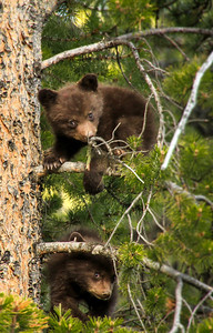 Black Bear Cubs in Tree