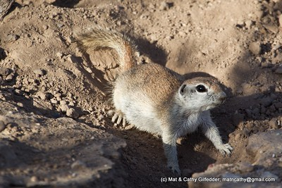 Round-tailed Ground Squirrel 7176