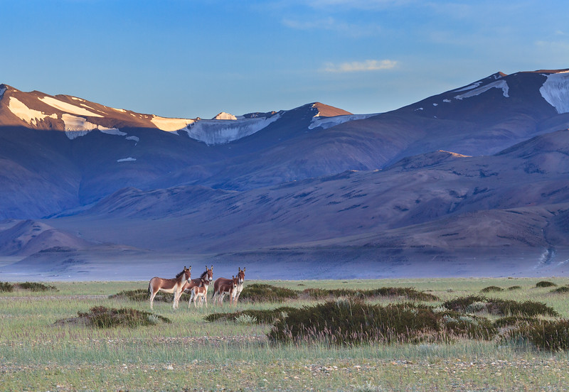 Tibetan Wild Ass Family
