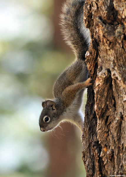 Yellowstone Red Squirrel