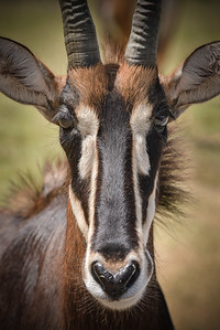 Sable Antelope Closeup