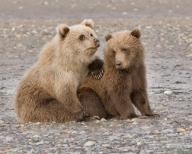 Brown Bears, Lake Clark National Park, AK