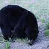 Black Bear, eating dandelions