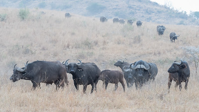 Cape Buffalo Herd - Lake Nakuru
