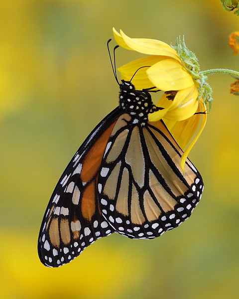 WL-109: Monarch on Sunflower