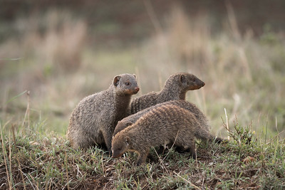Mongoose Family