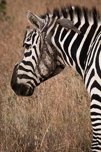 Lucky Zebra
