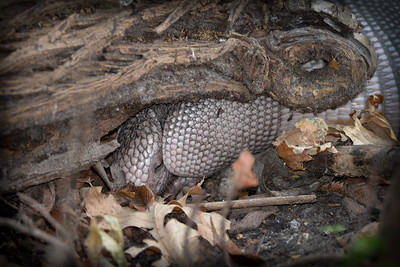 Armadillo Sleeping