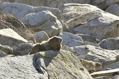 Marmot lounging in the sun