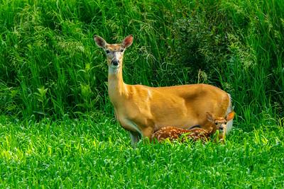 Whitetailed Deer, Odocoileus virginianus