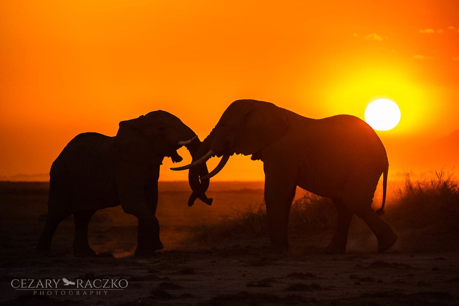 African Bush Elephants(Loxodonta africana)
