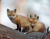 WL-080: Red Fox Kits