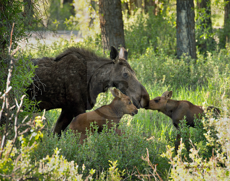 Mama moose and calves