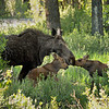 Mama moose and calves