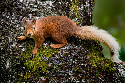The red squirrel (Sciurus vulgaris) is a species of tree squirrel in the genus Sciurus common throughout Eurasia. The red squirrel is an arboreal, omnivorous rodent.
