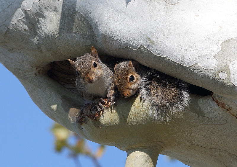 WL-146: Mama Squirrel with Young One
