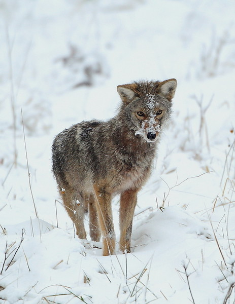 WL-147:  Coyote Hunting Voles