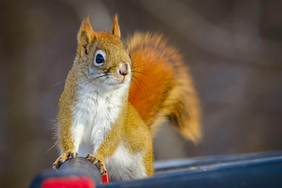 Red Squirrel, Tamiasciurus hudsonicus