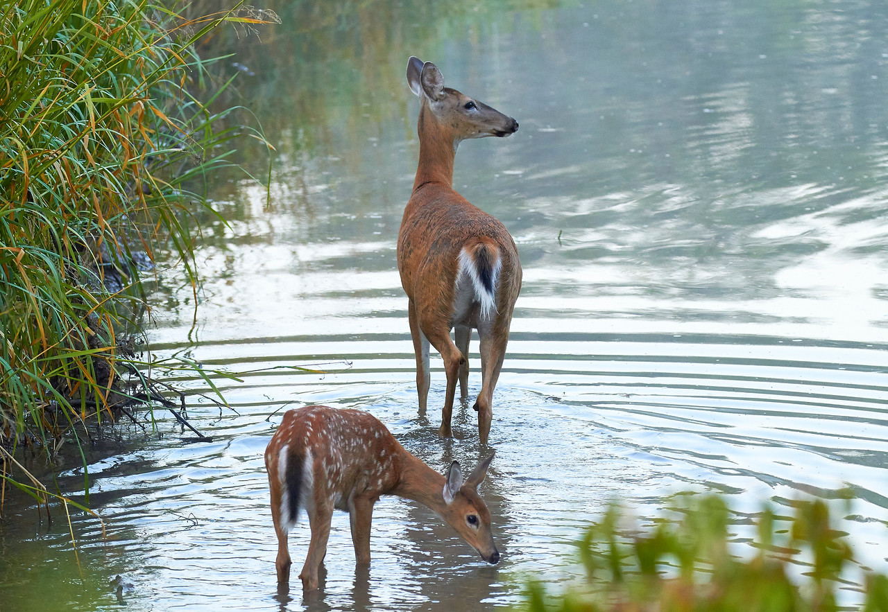 White Tailed Doe with Fawn
