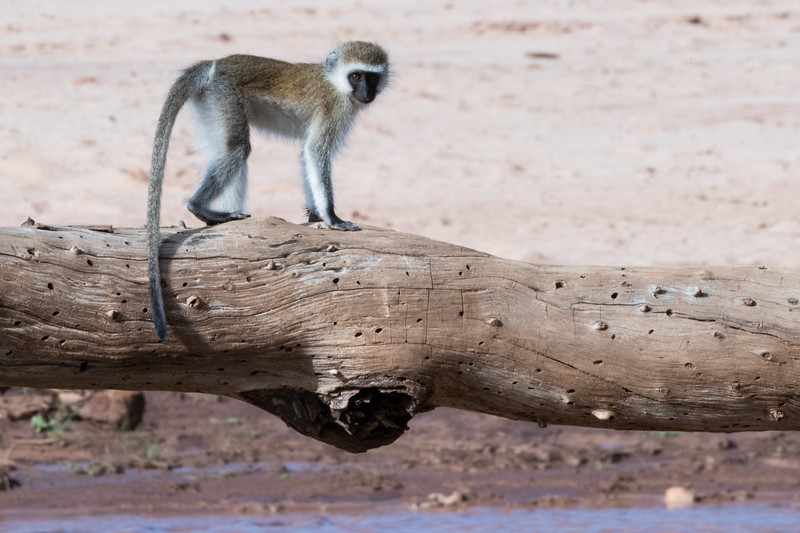 Monkey Crossing