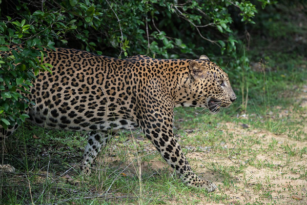 Sri Lankan Male Leopard