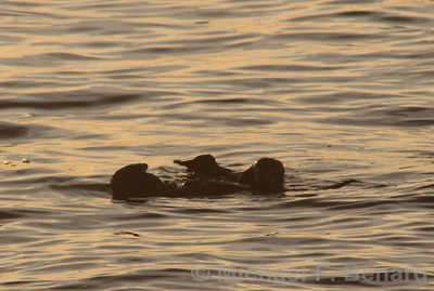 Two Sea Otters floating together