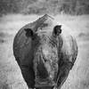 White Rhino Approaching