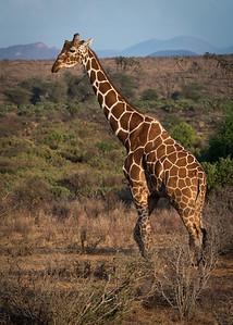 Samburu Giraffe