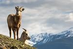Female Bighorn Sheeps