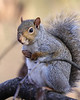 WL-013: Gray Squirrel