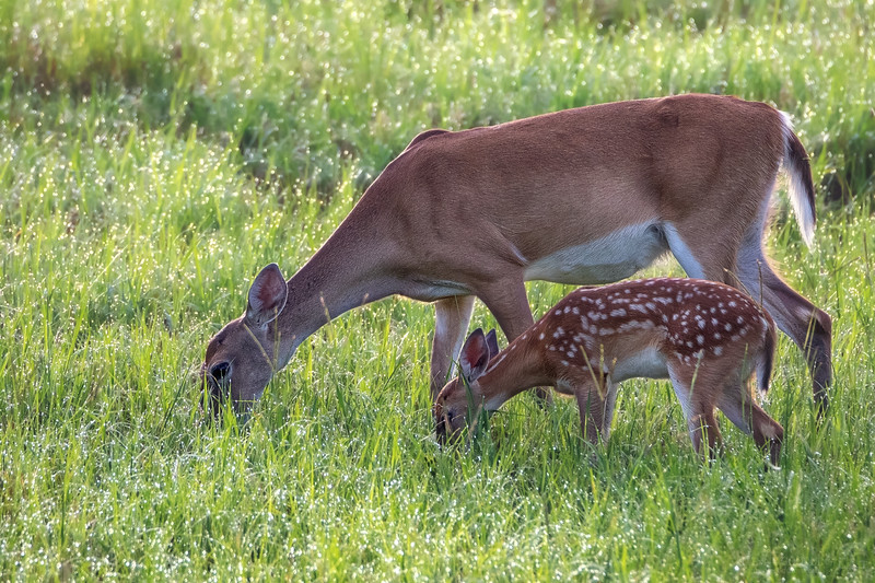 White tailed deer mother and fawn