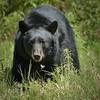 Black Bear Cometh