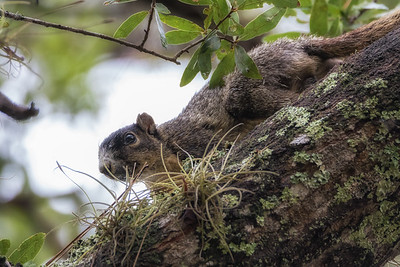 Sherman's fox squirrel