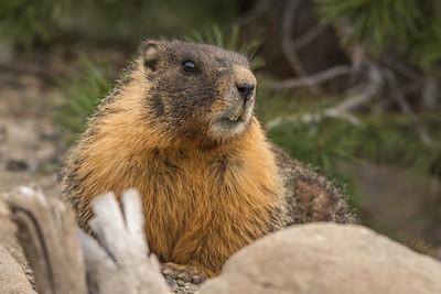 Yellow-Bellied Marmot, Caples Lake, at the Sierra Nevada, California.