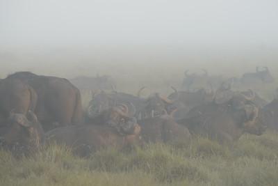 Cape Buffalo Morning Fog