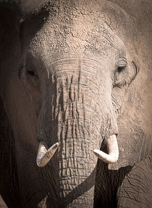 Female African Elephant Closeup