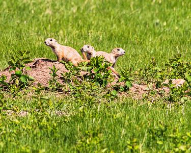 Black Tailed Prairie Dog, Cynomys ludovicianus