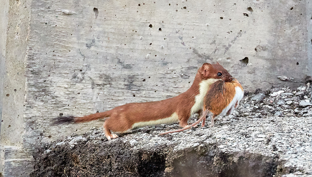 Least Weasel and Deer Mouse
