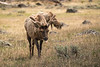 Elk sticks out its tongue