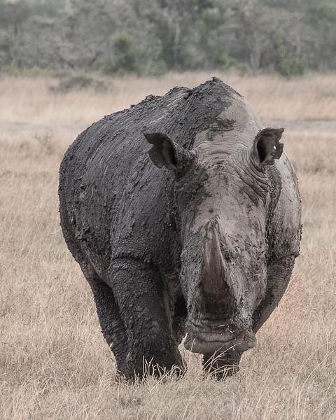 Muddy White Rhino