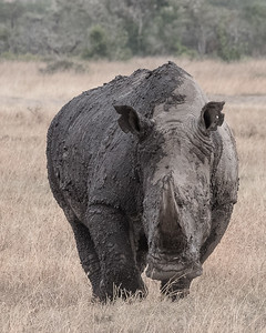Muddy White Rhino
