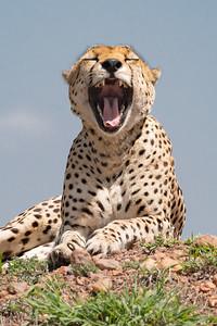 Dennis Stewart - Cheetah 2017