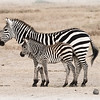 Momma Zebra and baby foal
