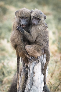 Band of Baboon Brothers