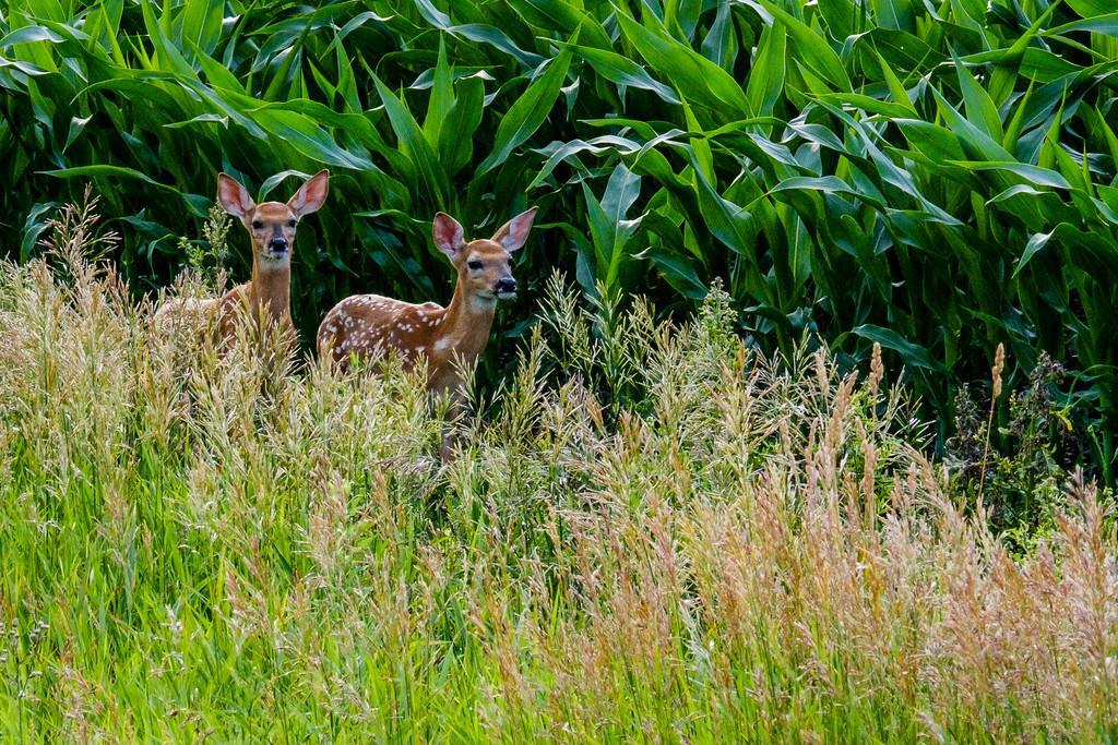Whitetail Deer, Odocoileus virginianus