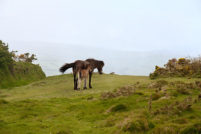 Exmoor pony mare and colt in Exmoor National Park, England.